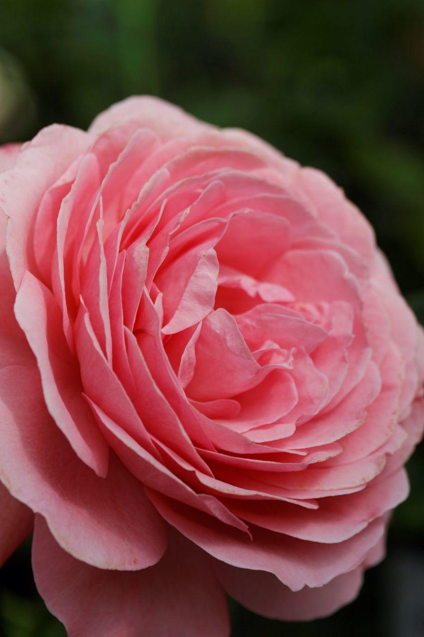 Close-Up Of Pink Rose Growing Outdoors