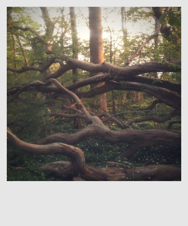 Branch Dead Tree Dead Trees Forest Nature No People Sundown Tree Trunk Trees In Springtim Trees In Sunshi Wildlife Wood