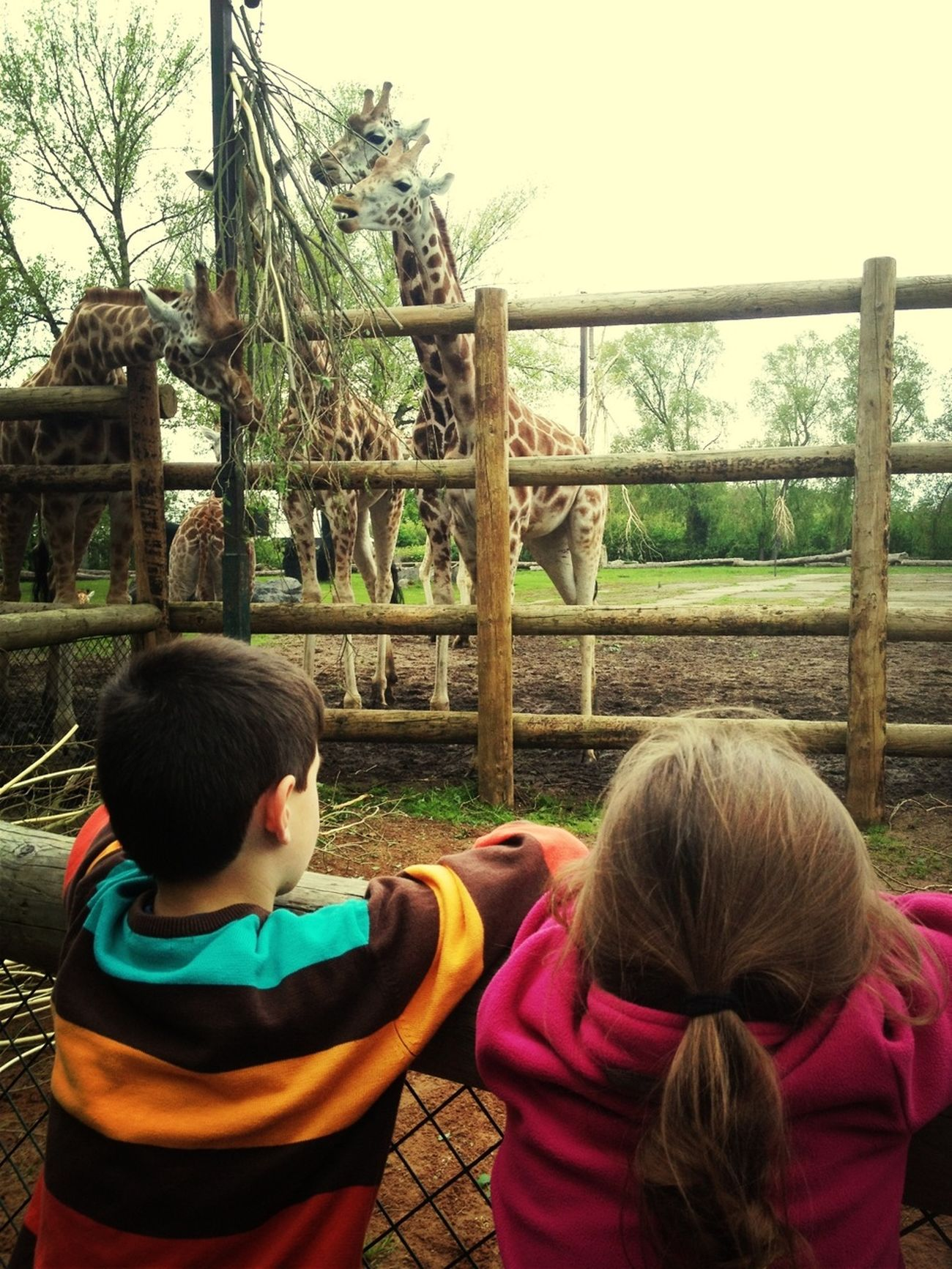 Checking Out The Giraffes