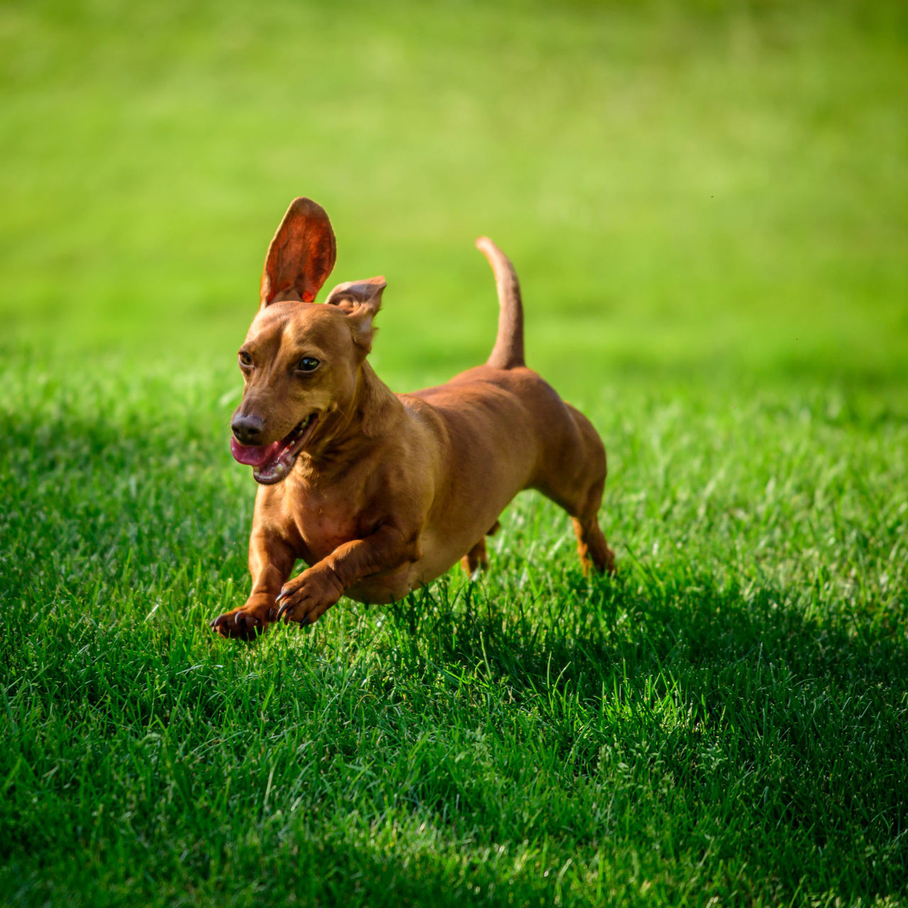 Animal Themes Dachshund Day Dog Domestic Animals Field Grass Green Color HotDog Mammal Nature No People One Animal Outdoors Pets Running Dog Running Dogs Smooth Sticking Out Tongue Weenie Dog Wiener Dog