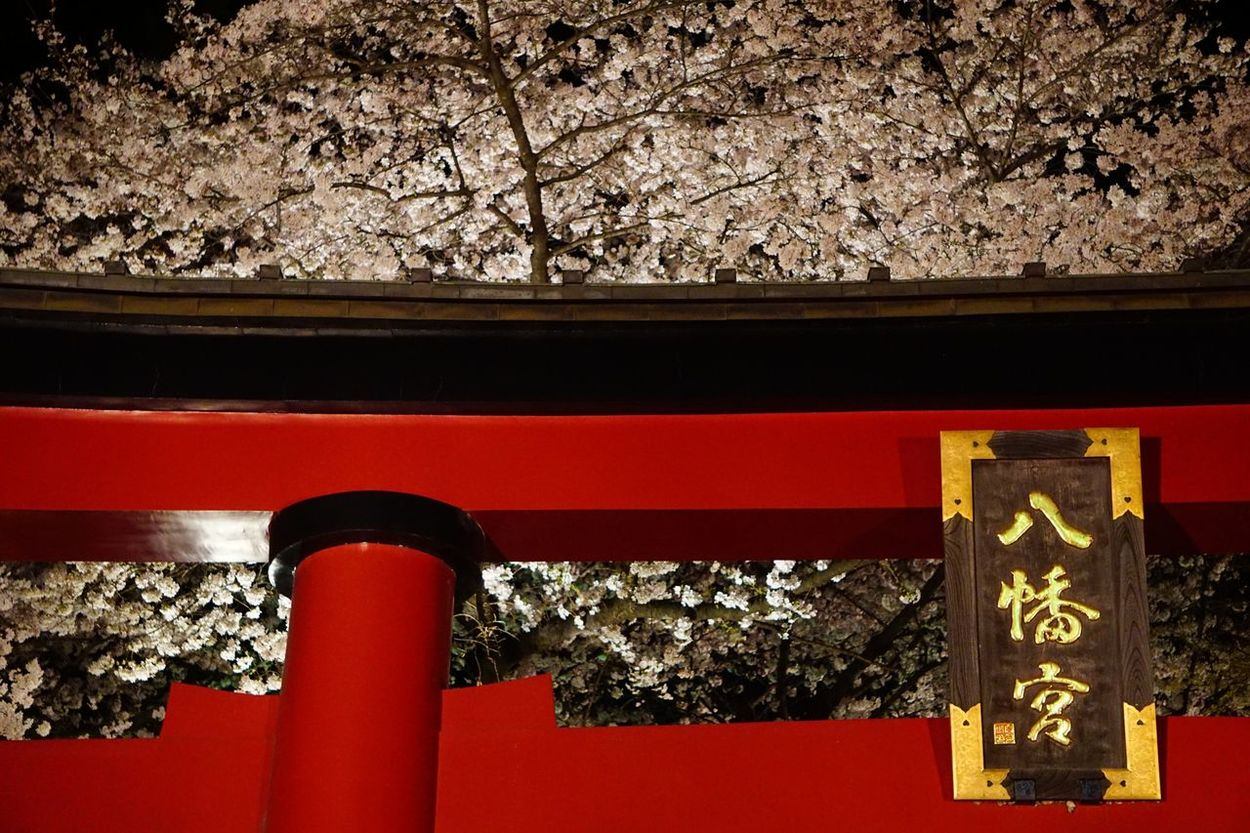 大宮八幡宮 鳥居と桜 大宮八幡宮 桜 鳥居 Tokyo 東京