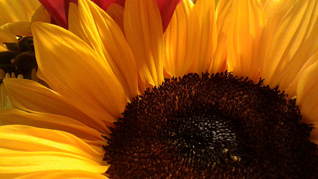 Close-up of a golden yellow sunflower in rays of sunlight. Beauty In Nature Blooming Cheerful Close-up Day Flower Flower Head Flowers Full Frame Golden Growth Nature No People Petal Sunflower Sunlight Sunny Yellow