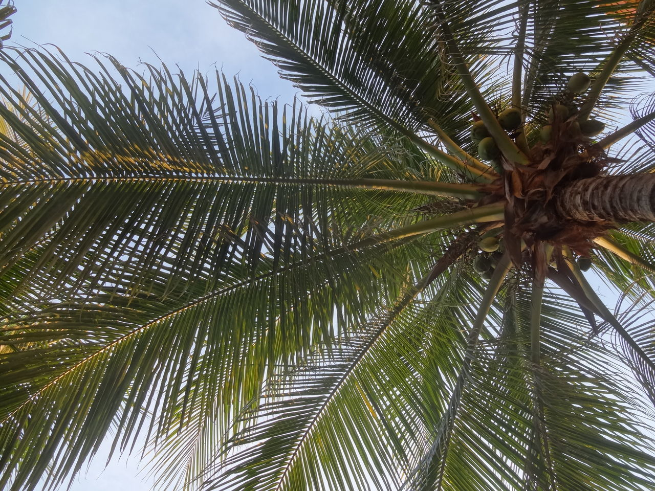 palm tree, nature, growth, low angle view, tree, beauty in nature, day, leaf, no people, frond, outdoors, close-up, freshness