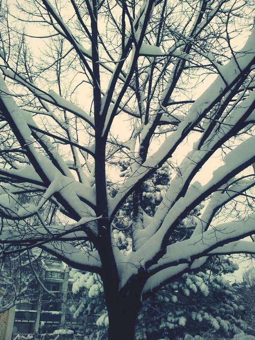 Tree Snow Samsung Galaxy S II  Enjoying Winter