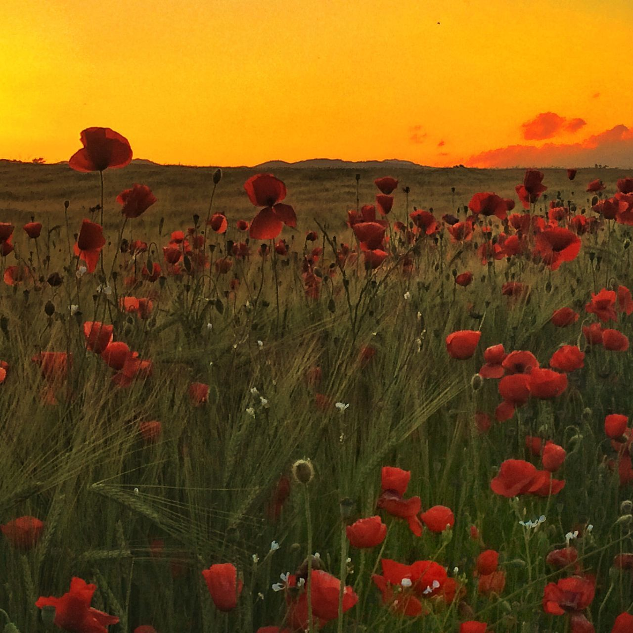 Red Poppies Blooming On Field During Sunset