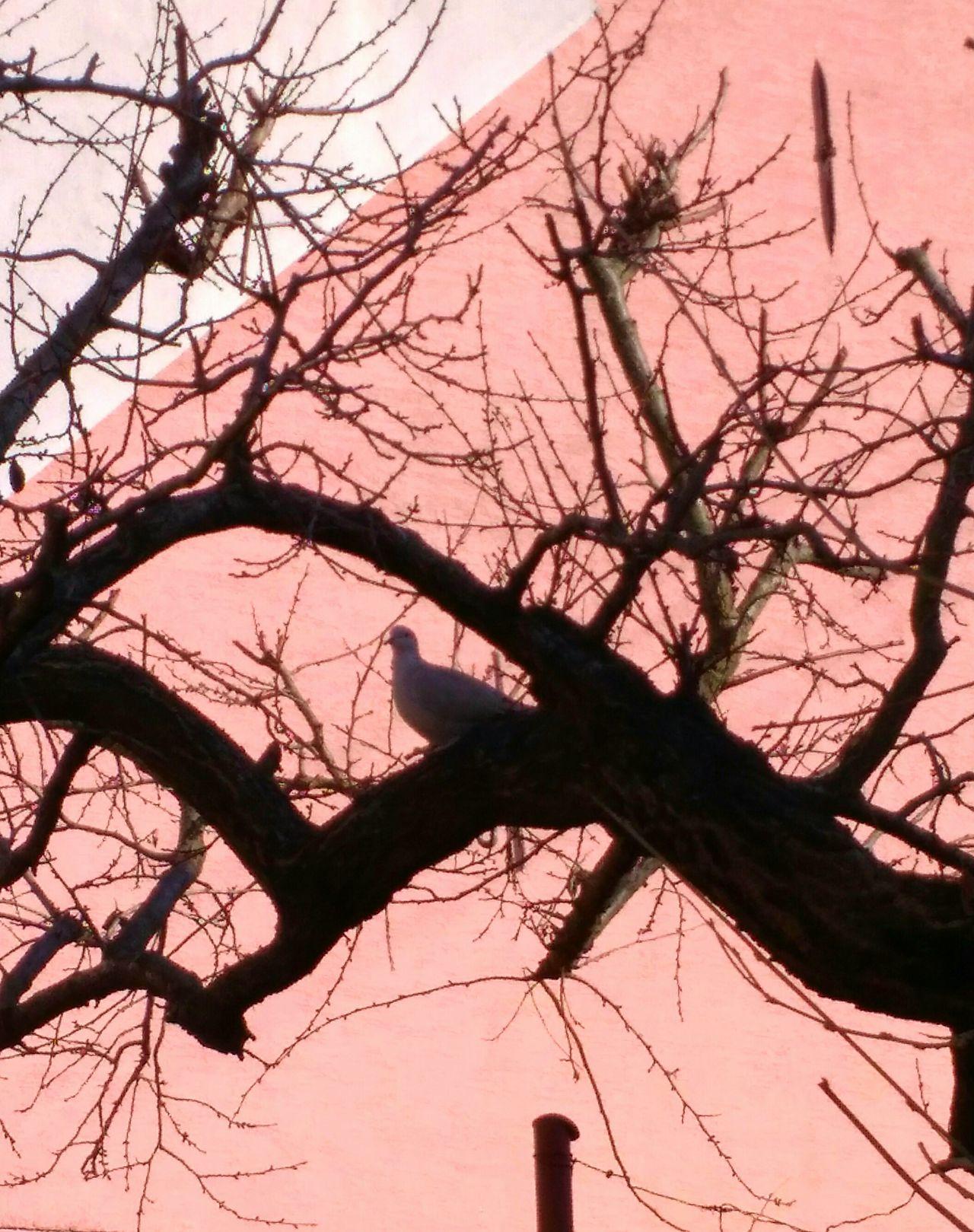 Tree Silhouette Pigeon Bird  Pigeon Trees Tree Trunk Pink Color Pink Pink House Bird Bird Photography Birds_collection Birds Of EyeEm  Pigeonslife Millennial Pink