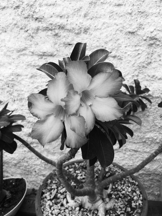 Desertflower Flower Hello World Relaxing Taking Photos Flowers,Plants & Garden Black & White Iphone6s