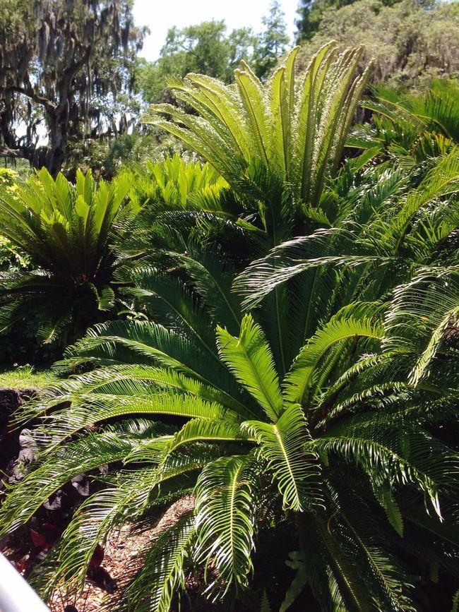 Green Nature Green Furns Outdoor Beauty Outdoor Photography Outdoor Life Eyemcaptured Florida