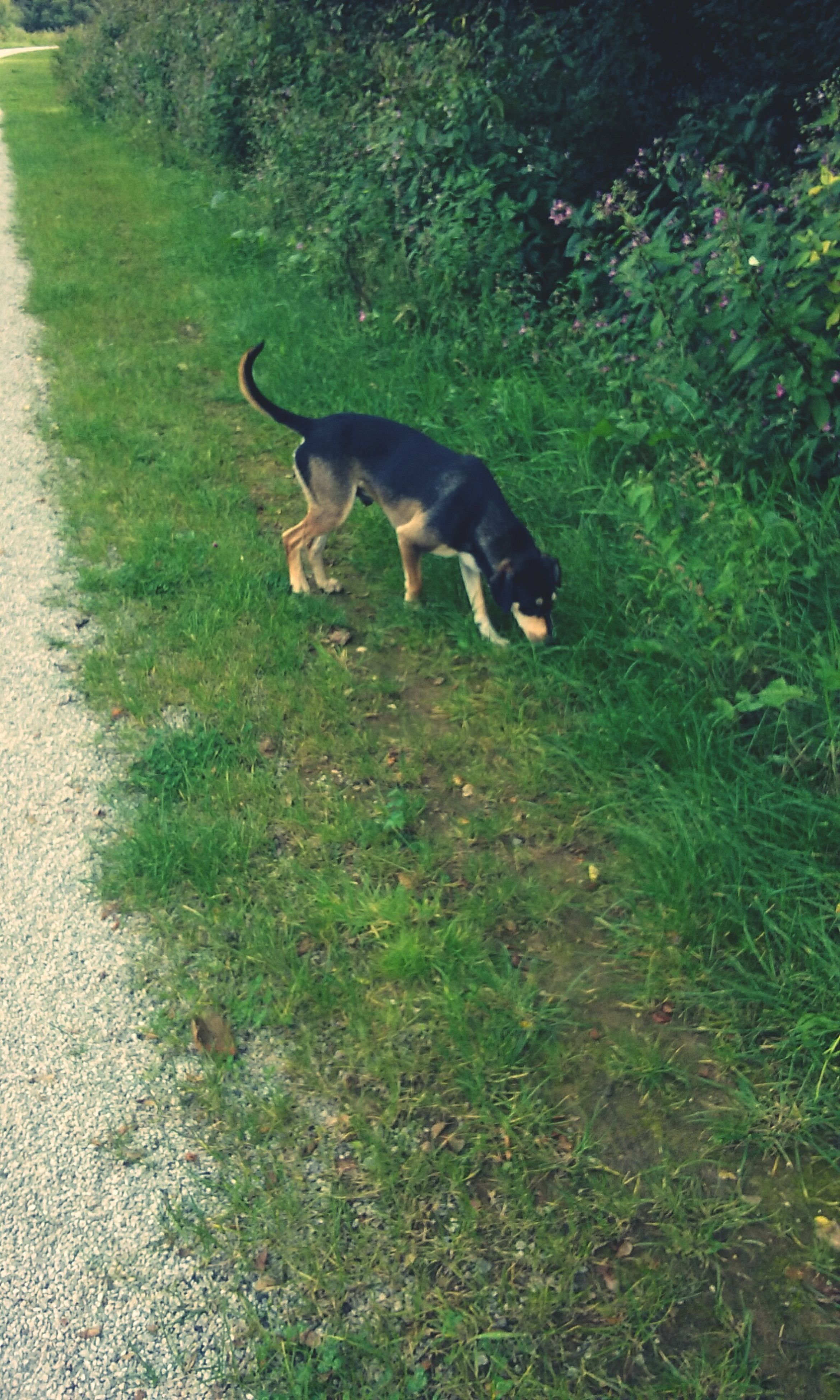 animal themes, grass, domestic animals, dog, one animal, pets, mammal, field, grassy, green color, high angle view, nature, full length, growth, day, outdoors, walking, relaxation, no people, plant