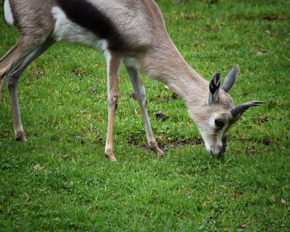 Grass One Animal Animal Themes Field Mammal No People Domestic Animals Nature Day Animals In The Wild Outdoors Animal Safari Animals Animals In Captivity Zoo Animals  Animal Photography Animal_collection Zoo Antelope Gazelle Grass Eating Nature Animal Wildlife Horned