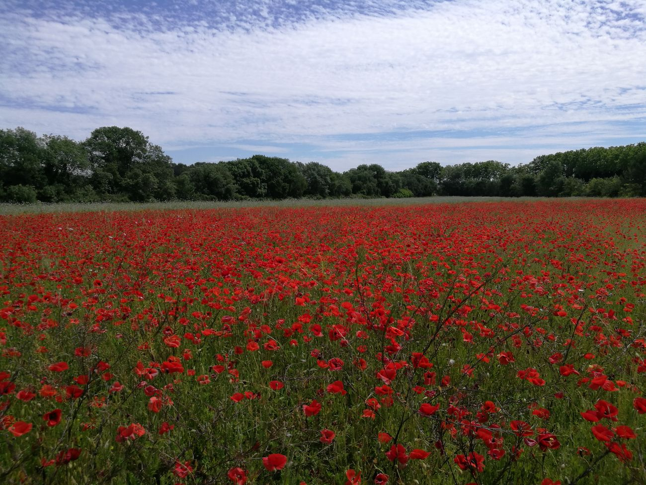 Red Nature Abundance Flower Rural Scene Field Freshness Sky Outdoors Day Tranquility Beauty In Nature Cloud - Sky Poppies  No People