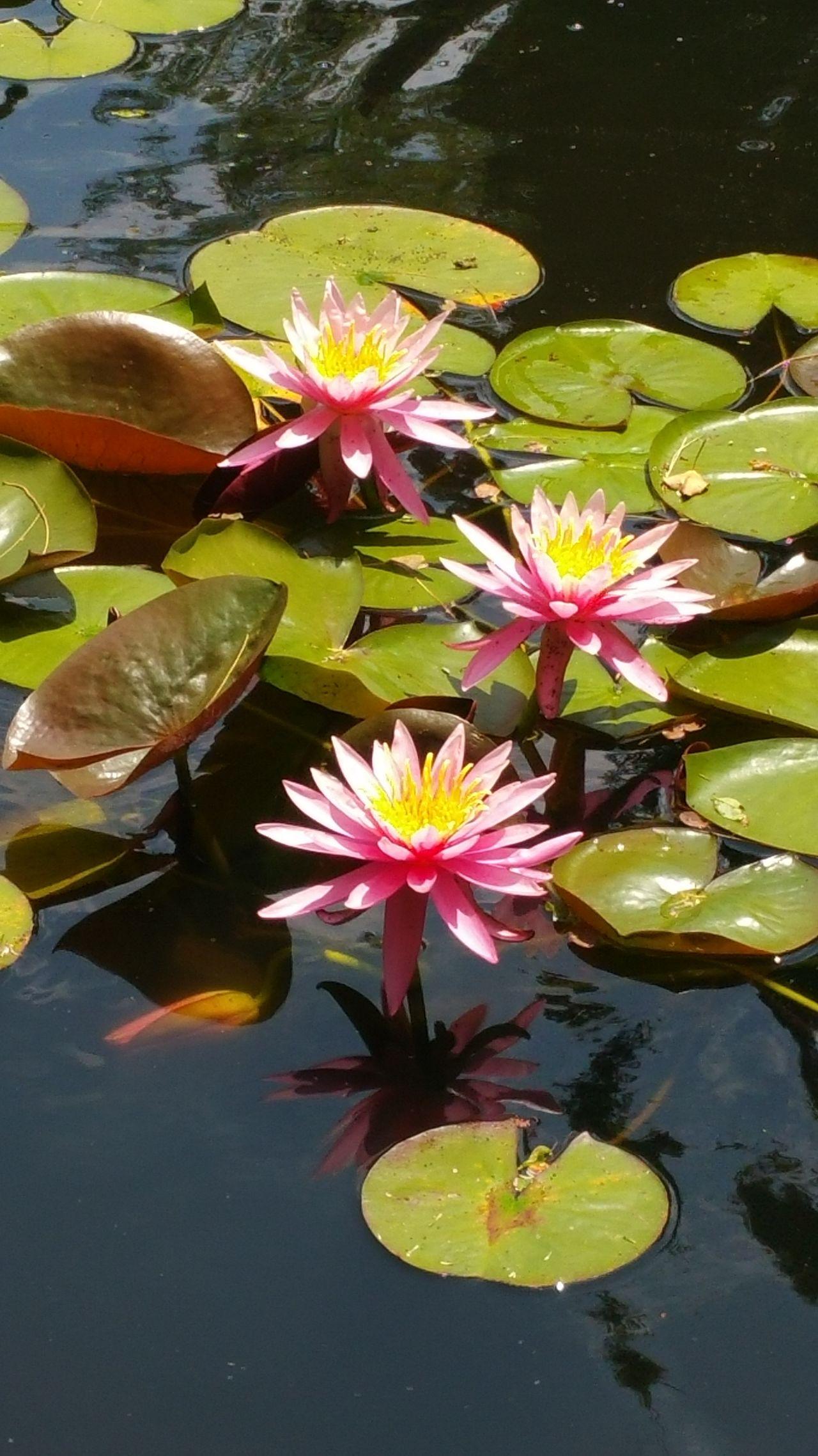 Nofilter Pondlife Beautyinnature  Lilypads