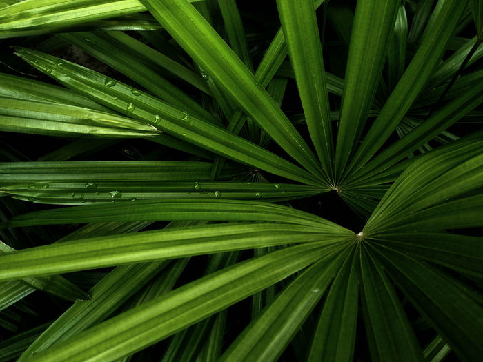 Tropical palm leafs green leaves texture background low light Green Nature Nature Photography Palm Leaf Palm Tree Background Backgrounds Beauty In Nature Close-up Day Freshness Full Frame Green Color Growth Leaf Nature Nature_collection Nature_perfection Naturelovers No People Outdoors Plam Plant Tropical Plants Tropical Tree