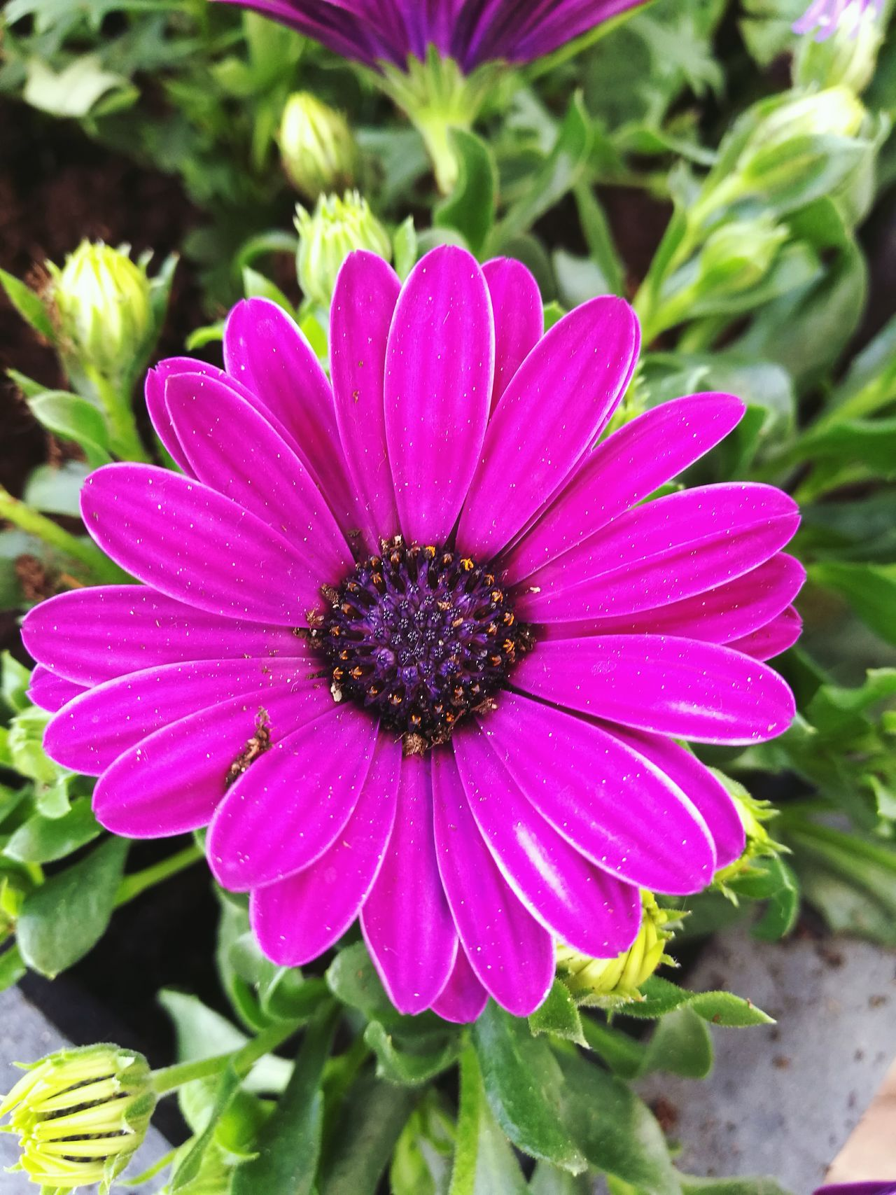 Flower Flowers Nature Photography Nature Pink Flower Photography Taking Photos Outside Summer Plant Plants Kapkörbchen Osteospermum Nature's Diversities