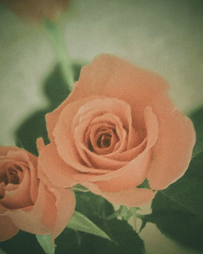 Indoors  No People Nature Close-up Day Reptile Flower Beauty Flower Head Roses Rose - Flower Rosé Roses Flowers  Rose Flower Rose🌹 Rosé Rose Pink Rose Pink Color Roses🌹 Rose♥ Rose Petals