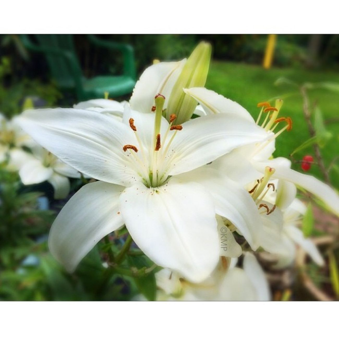 Flower Nature K8marieuk Katemariephotographyuk Iphone5s July14 Iwatermark Squareadypro Garden Lilly White Flowers Phototoaster ECP Eastcoastpixels
