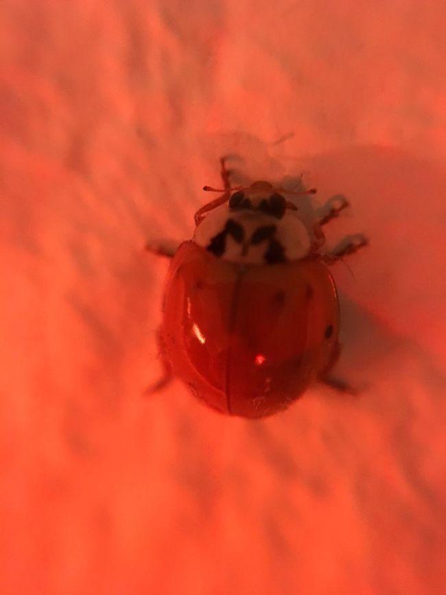 Marienkäfer Ladybug Red Ladybird Ladybeetle