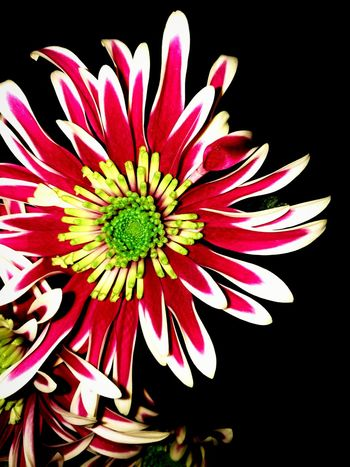 Close-up, Lovley Flower with pretty Colour's.. Beauty In Nature Flower Head Freshness No People Pollen Plant