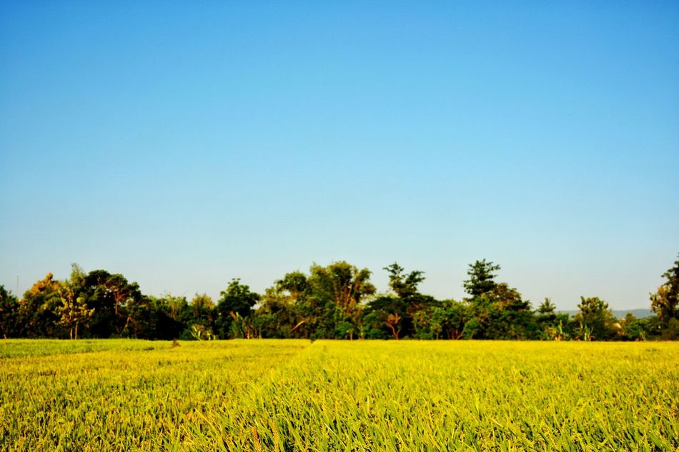 Agriculture Crop  Farm Field Tree Rural Scene Food Growth Outdoors Rice Paddy Clear Sky Landscape Sky Beauty In Nature Rural Exploration Paddyfield Farmfield Leisure Activity Bacpacker Wanderlust The Secret Spaces Long Goodbye