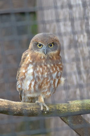 Owllife Bird Photography Birdsofprey Owl Owl Eyes Owl Portrait. Eagleeye Birds Of EyeEm