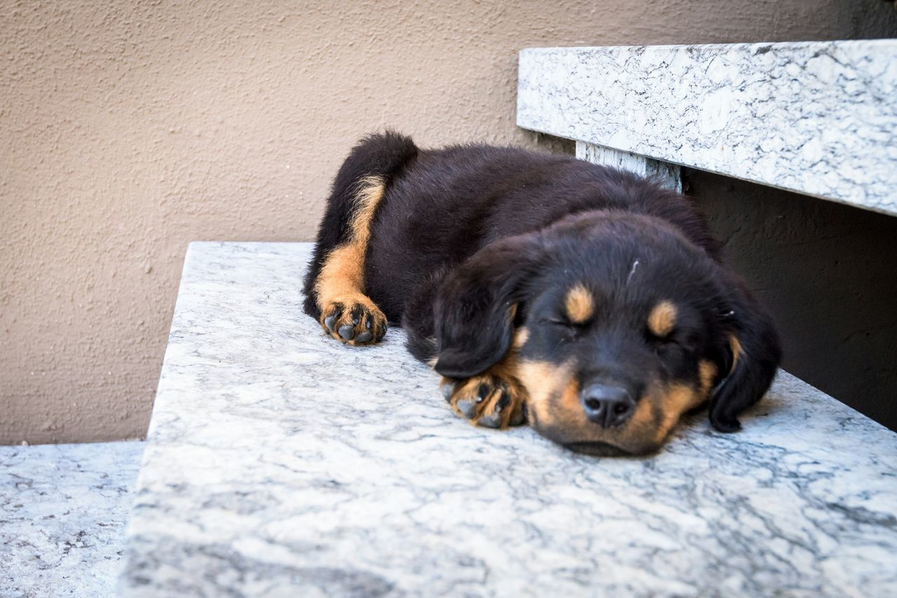 Beautiful stock photos of rottweiler, Animal Themes, Day, Domestic Animals, Eyes Closed