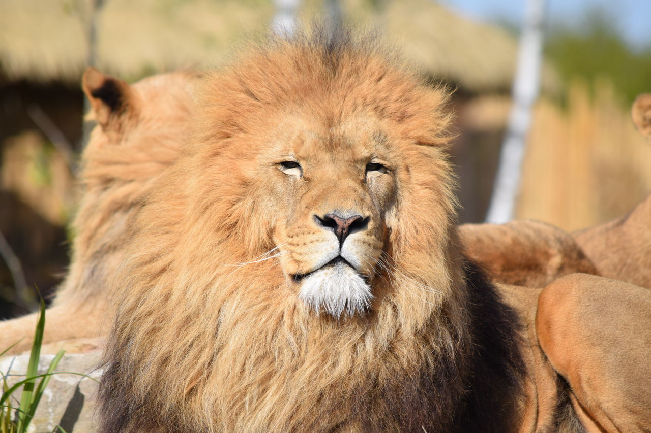 animal themes, animals in the wild, mammal, focus on foreground, one animal, no people, day, lion, relaxation, close-up, outdoors, portrait