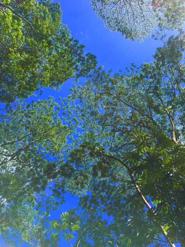 Lacy leaves against a clear blue sky Lookingup Nature Beauty In Nature Branch Sky Trees Trees And Sky No People Clear Sky Forest Non-urban Scene Green Shades Of Green  Tranquility Freshness Backroads Big Island Hawaii