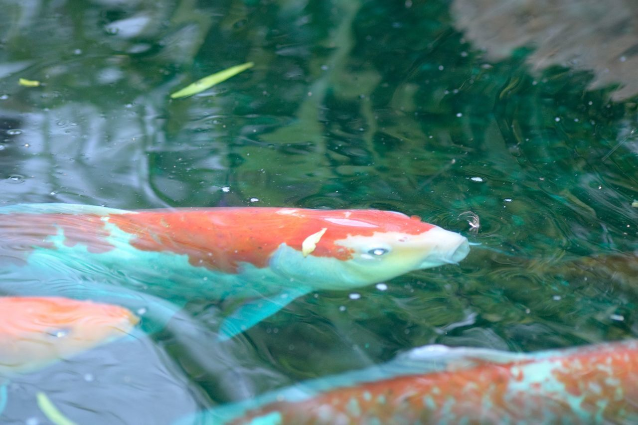 water, swimming, animal themes, fish, koi carp, high angle view, no people, close-up, nature, day, animals in the wild, carp, sea life, outdoors