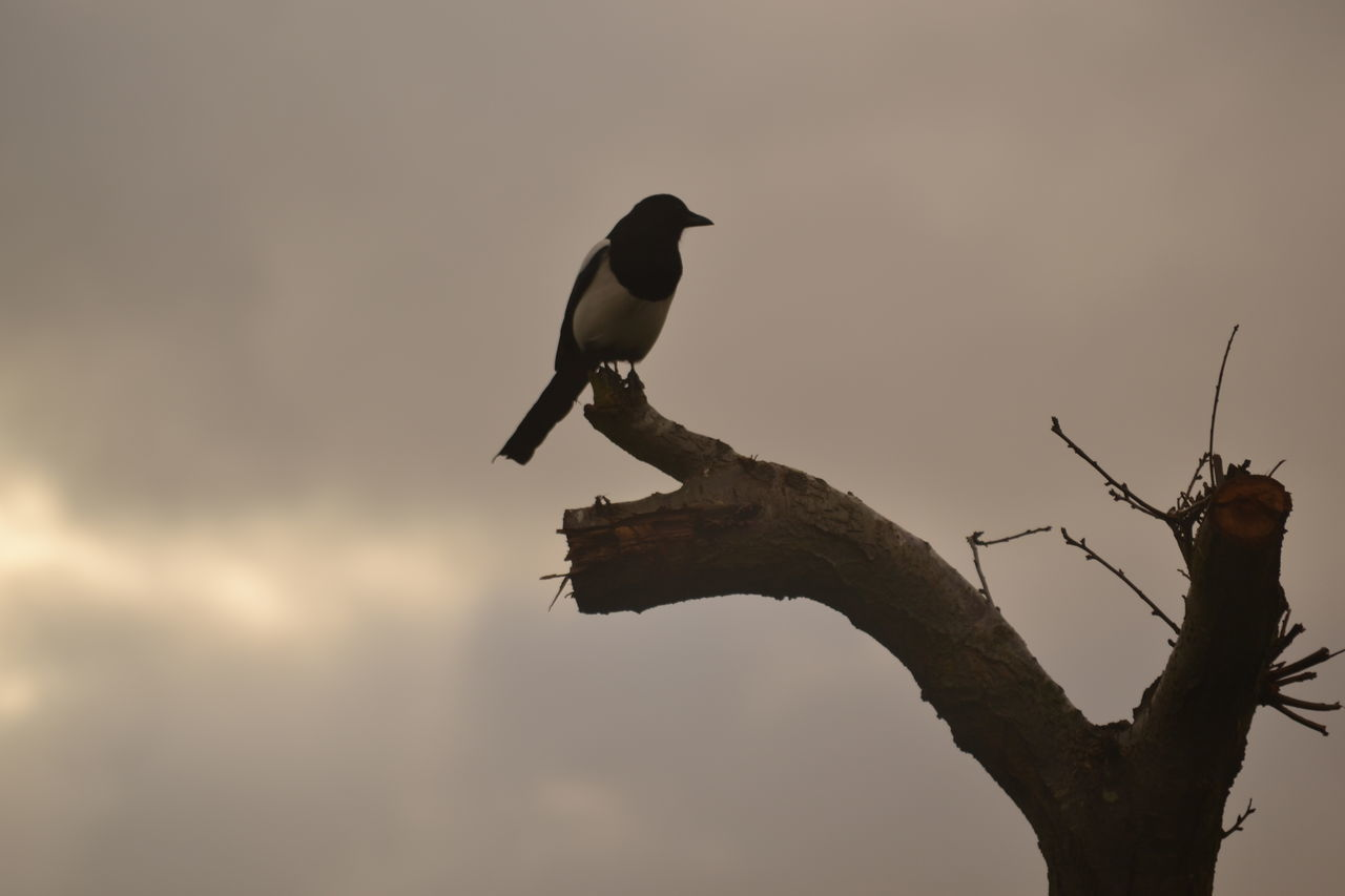 Magpie Bird Photography Silhouette Photography Cloudy Background