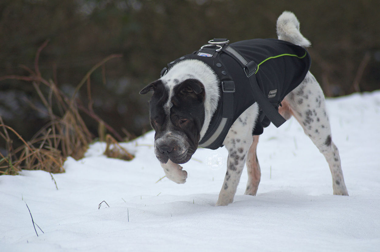 I know a rabbit ran here... Animal Themes Mammal Snow Schnee Winter Domestic Animals Cold Temperature One Animal No People Outdoors Day Nature Natur Sniff Snoop  Schnüffelnder Hund Dog Hund Shar Pei Dog Clothes