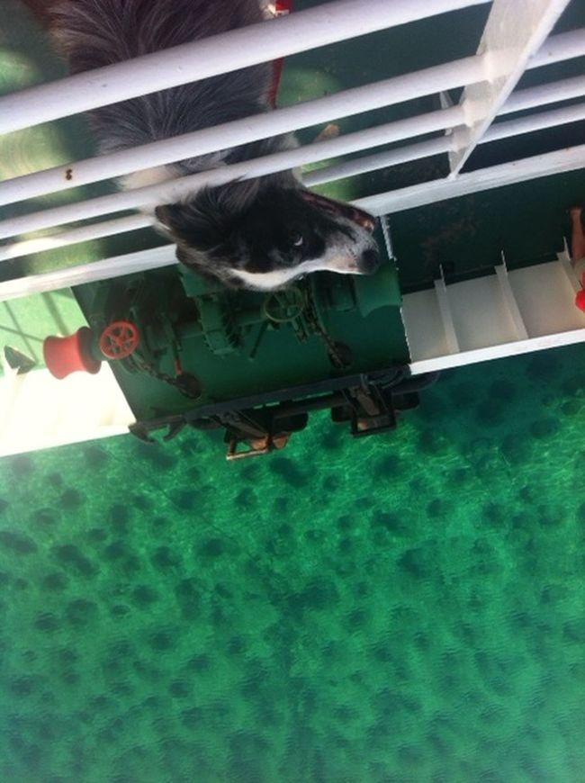 Border Collie Dog Ferryboat Green Sea