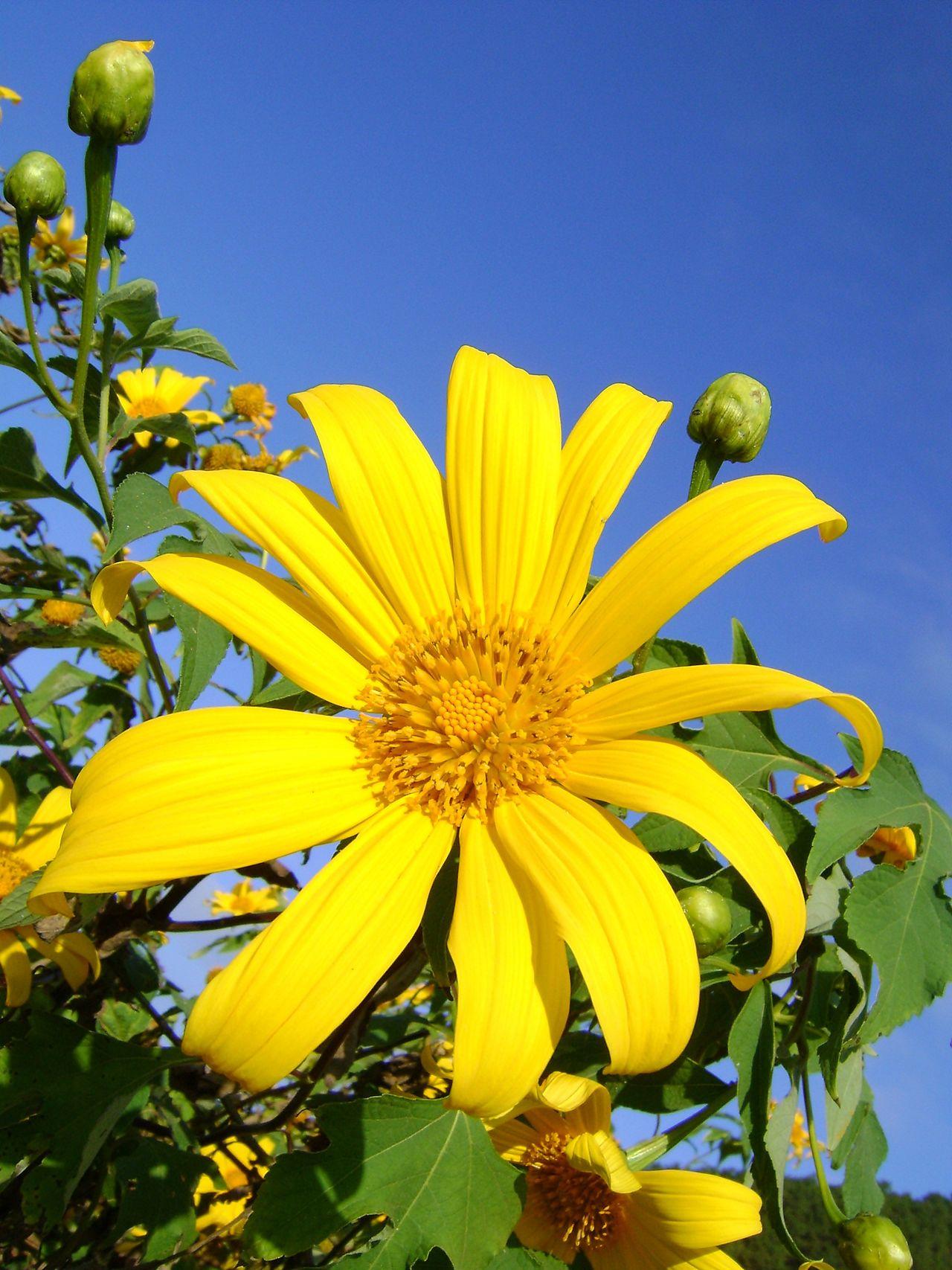 ดอกบัวตอง ณ. แม่อูคอ แม่ฮ่องสอน Beauty In Nature Blooming Close-up Flower Flower Head Fragility Freshness Growth Nature No People Outdoors Petal Plant Yellow ดอกบัวตอง