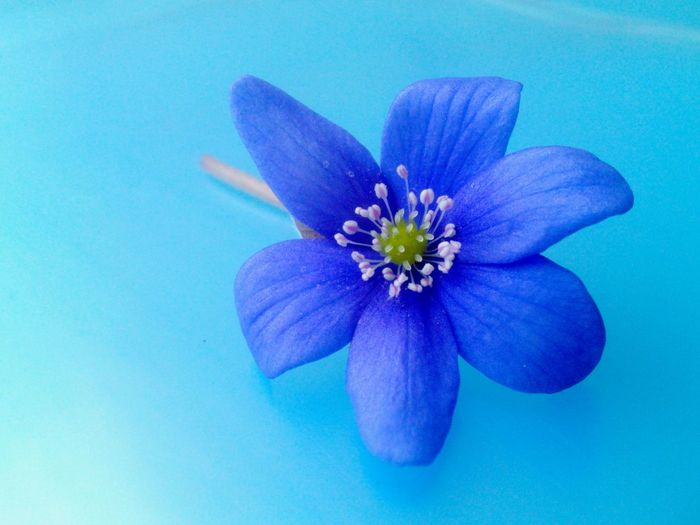 Blue Wave Beauty In Nature Macro Beauty Flowers_collection Blue Blossom Shades Of Blue Anemone Hepatica