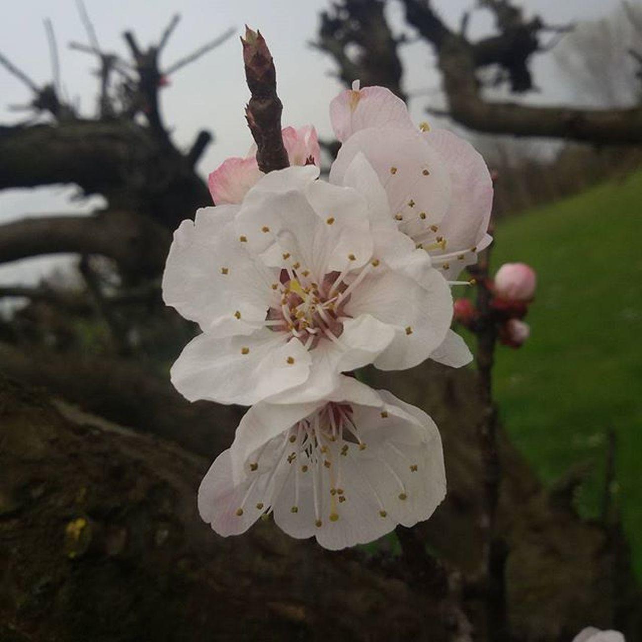 Fioridialbicocche Albicicche Fiori Flower Flowers Primavera Primavera2016 Spring Spring2016 Marzo March Albero Tree