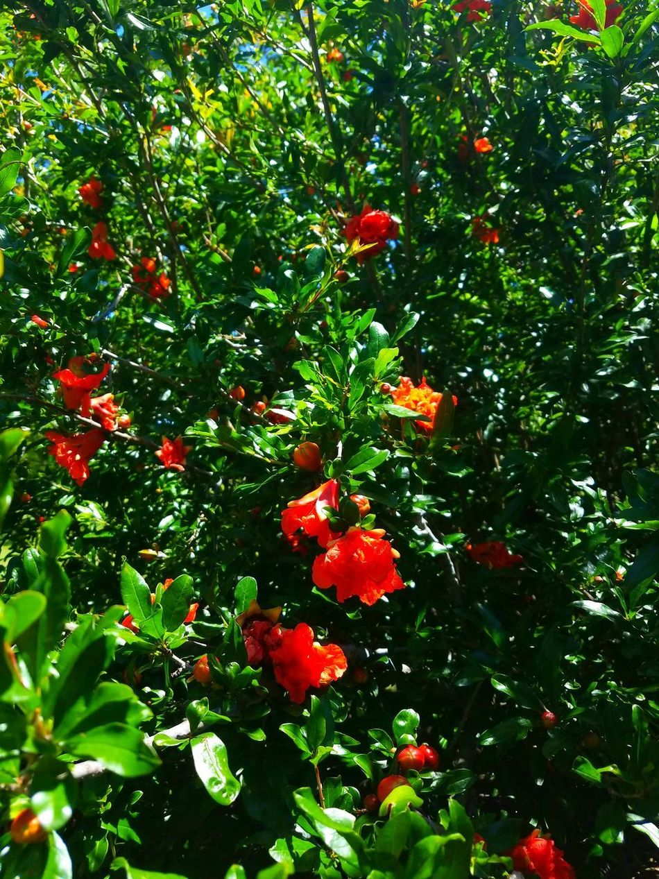 Pomegranate views Fruit Growth Tree Nature Red Beauty In Nature Outdoors Freshness Food And Drink Green Color Growing Day No People Low Angle View Branch Rowanberry Leaf Healthy Eating Food Close-up