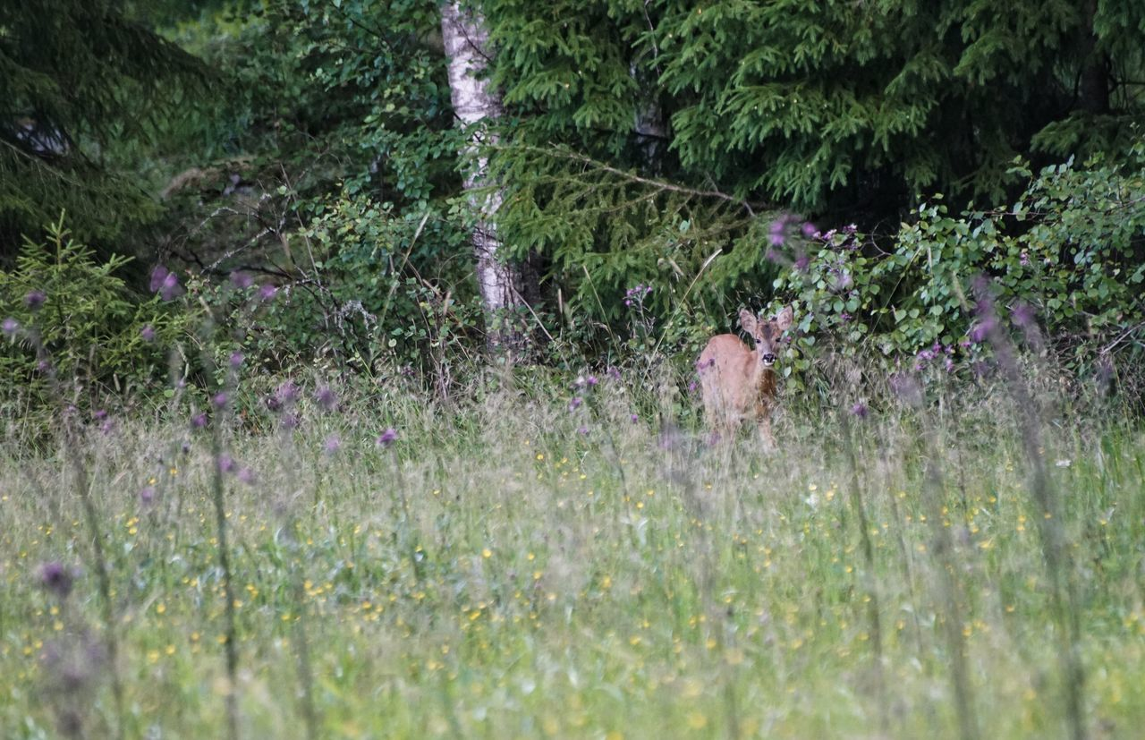EyeEm Selects 2017 Juli Niklas Sweden Showcase July 2017 Huddinge Grass Mammal Animal Themes Nature One Animal Beauty In Nature Green Color Field Outdoors Red Deer Deer