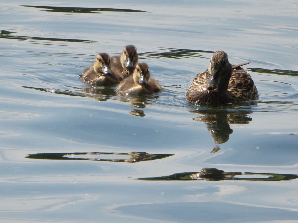 Ducks ❤ Entenküken Familyportrait Reflection Animal Wildlife Simple Beauty Eye4photography  Zoom ♡ For My Friends 😍😘🎁 Love My Life❤ My Soul's Language Is📷 EyeEm Best Shots Enjoyinglife  Close-up Tierkinder Animalbaby Swimming Perfect Day For Photgraphy