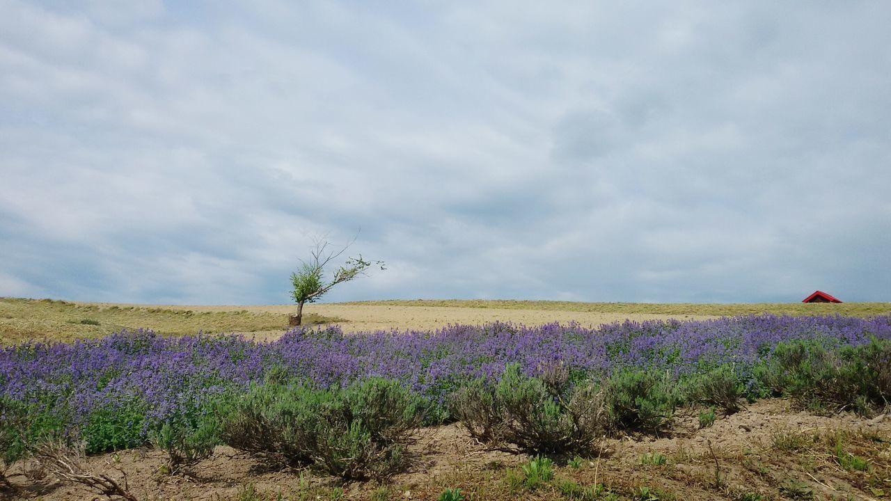 富良野 Hokkaido, Japan Beauty In Nature Purple ♥ Purple Flower Ultimate Japan