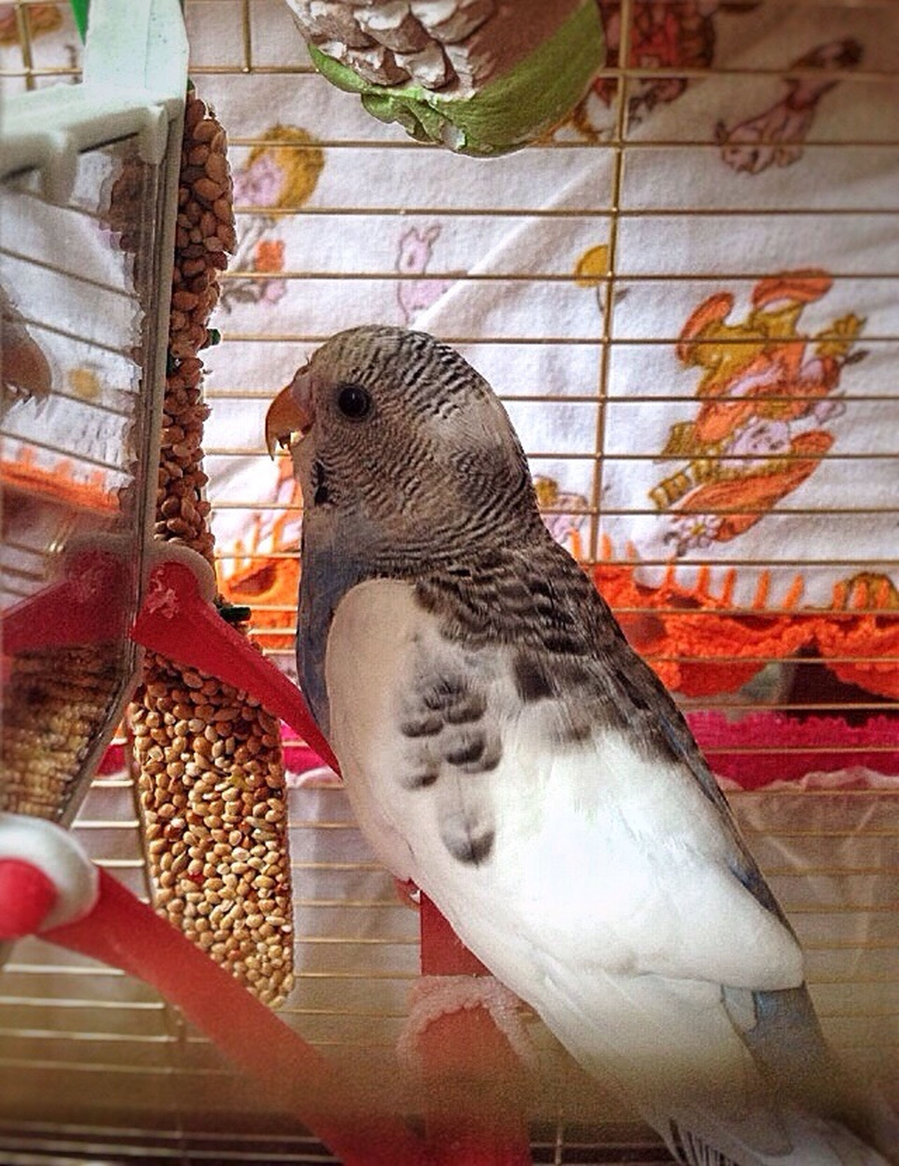 bird, cage, animal themes, animals in captivity, one animal, birdcage, animal wildlife, no people, indoors, pets, hen, day, mammal, close-up, perching
