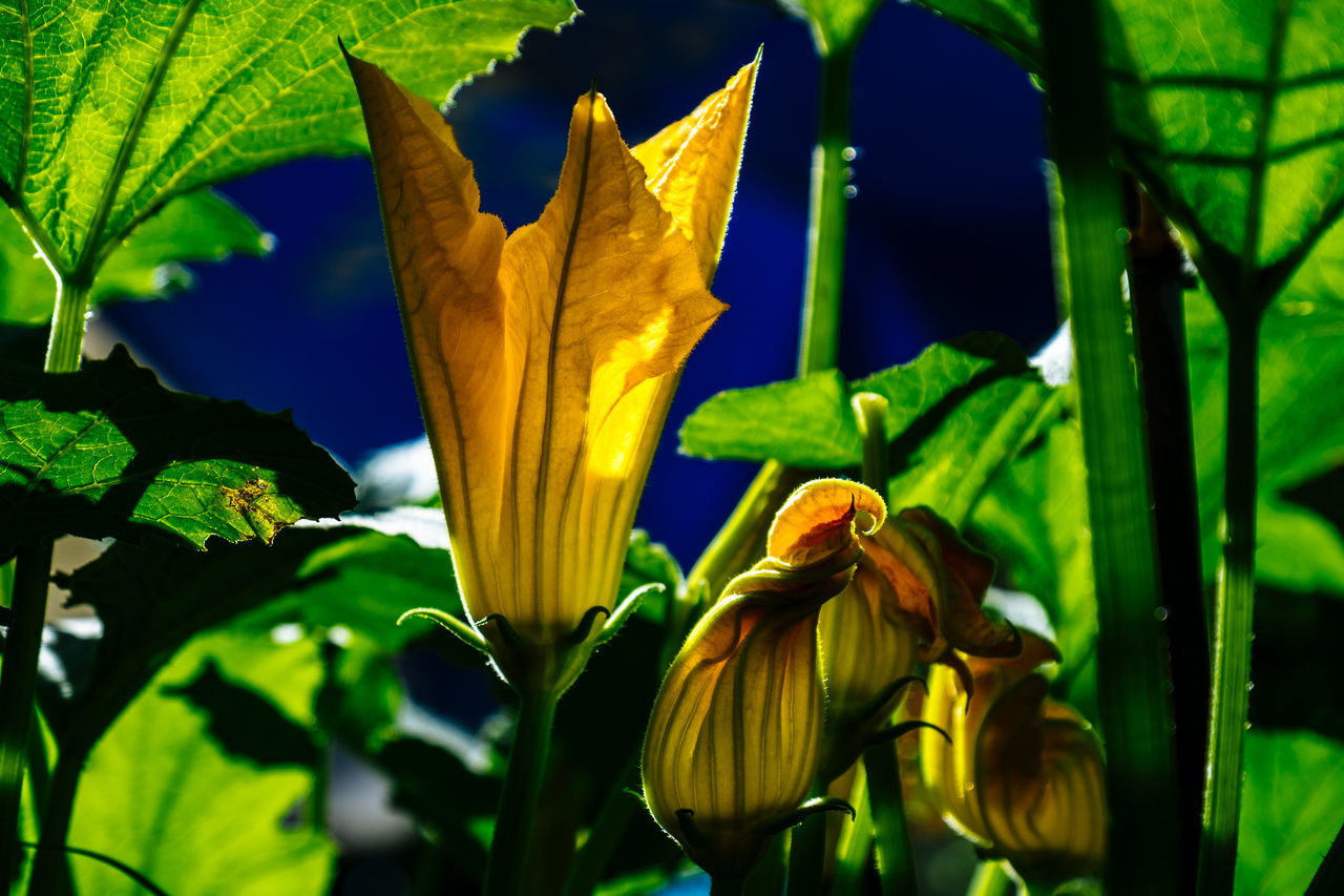 Beauty In Nature Blooming Blossom Botany Bud Close-up Day Flower Flower Head Focus On Foreground Fragility Freshness Green Color Growth Leaf Nature No People Outdoors Petal Plant Stem Yellow Zucchini Flower Zuchetti Zuchinni