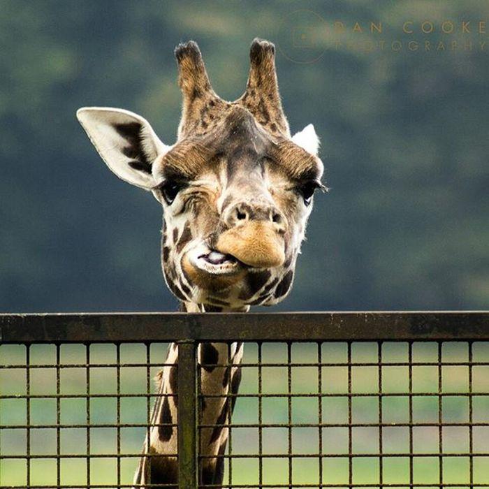Giraffe to? Giraffe Longleatsafaripark Wildlife