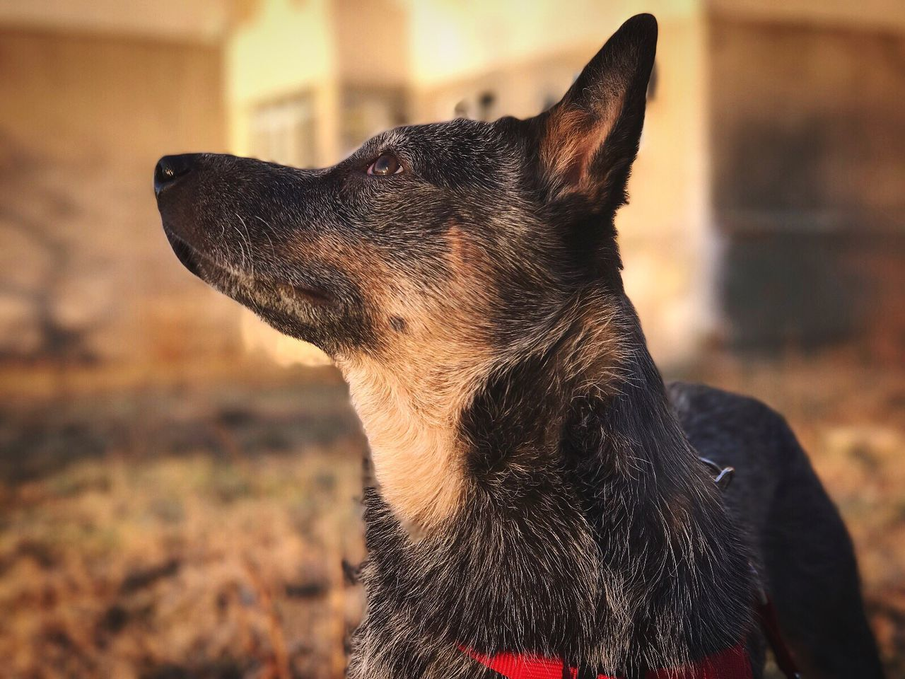 The sun is back! One Animal Animal Themes Focus On Foreground Mammal Domestic Animals Pets Close-up No People Dog Outdoors Day ACD  Australian Cattle Dog Blue Heeler Thinking Life City