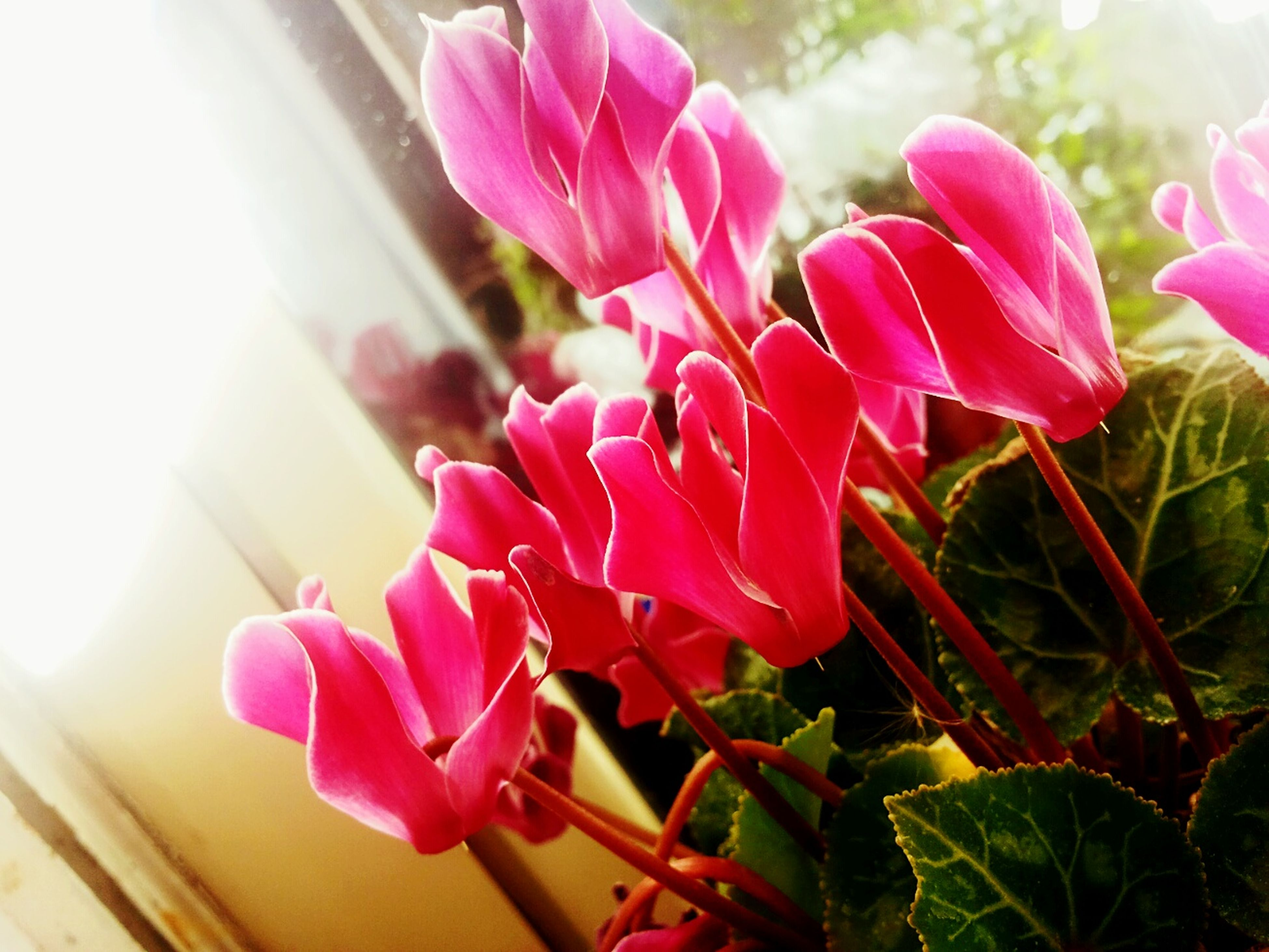 flower, petal, freshness, fragility, pink color, flower head, beauty in nature, growth, close-up, focus on foreground, nature, blooming, plant, indoors, pink, in bloom, stem, leaf, day, blossom