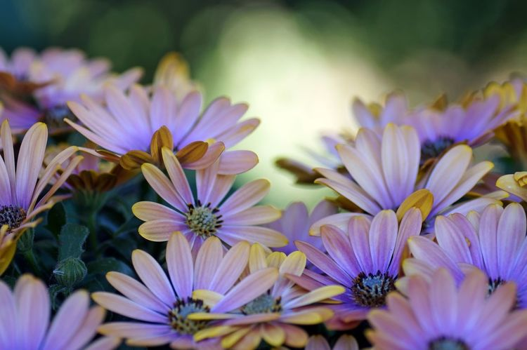 OsteosperMum Fruticosum trailing African Daisy shrubby dAisybush Purple OsTeospermum flower Osteospermum OsteosperMum Flower Head Daisybushes daisybusHes No People Close-up Multi Colored