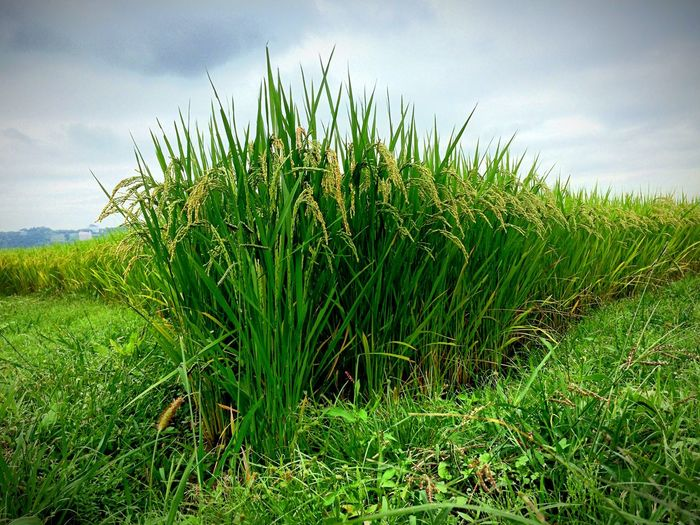 Rice Field From My Point Of View EyeEm Nature Lover Eye For Photography Green
