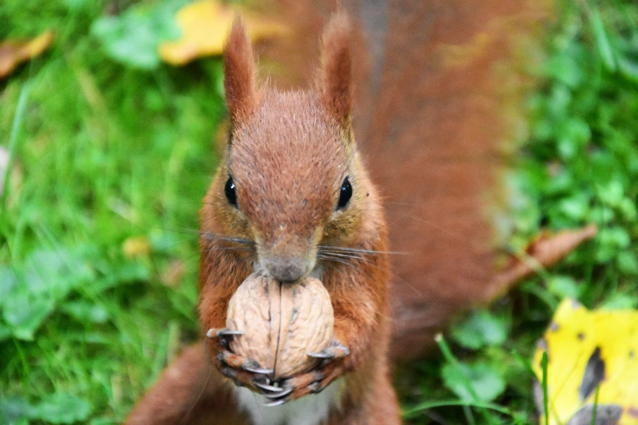 one animal, animal themes, animals in the wild, squirrel, day, mammal, holding, focus on foreground, outdoors, nature, close-up, animal wildlife, looking at camera, no people