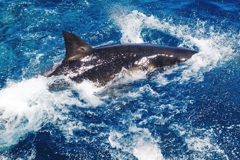 Great White Shark 🦈 Shark Great White Shark White Pointer Shark Fin Sea Water Swimming Blue Animals In The Wild Animal Themes Beauty In Nature Nature Waterfront Sea Life Animal Wildlife Predator No People Day Fish Shark Cage Diving Aquatic Outdoors