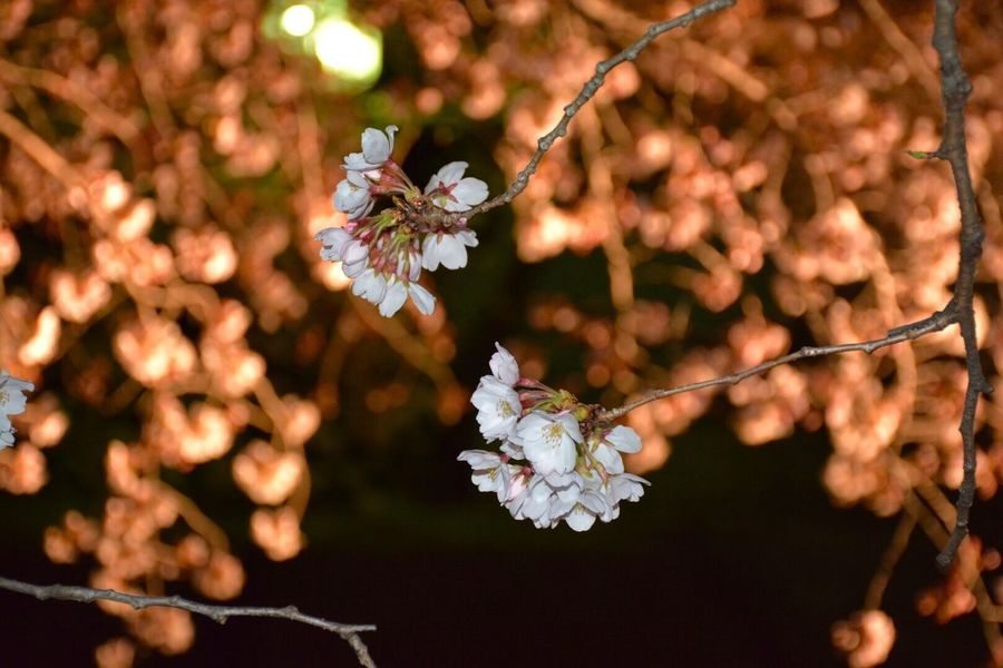 新しいカメラで初撮り Cherry Blossoms Night View Eye4photography  Nightphotography EyeEm Best Shots Streetphotography Night EyeEm Nature Lover Nature_collection 桜