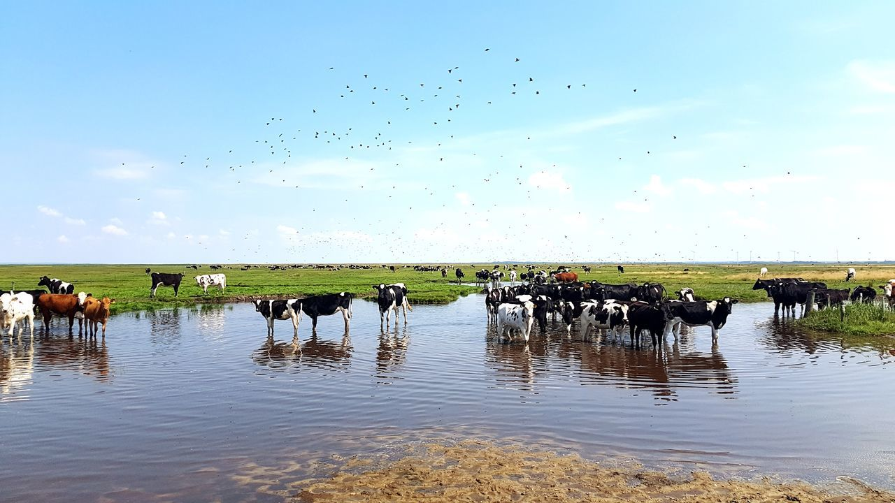 Animal Themes Reflection Domestic Animals Waterfront Water Bird Pond Weide Kühe - Cows Drinking Nature Landscape Fields