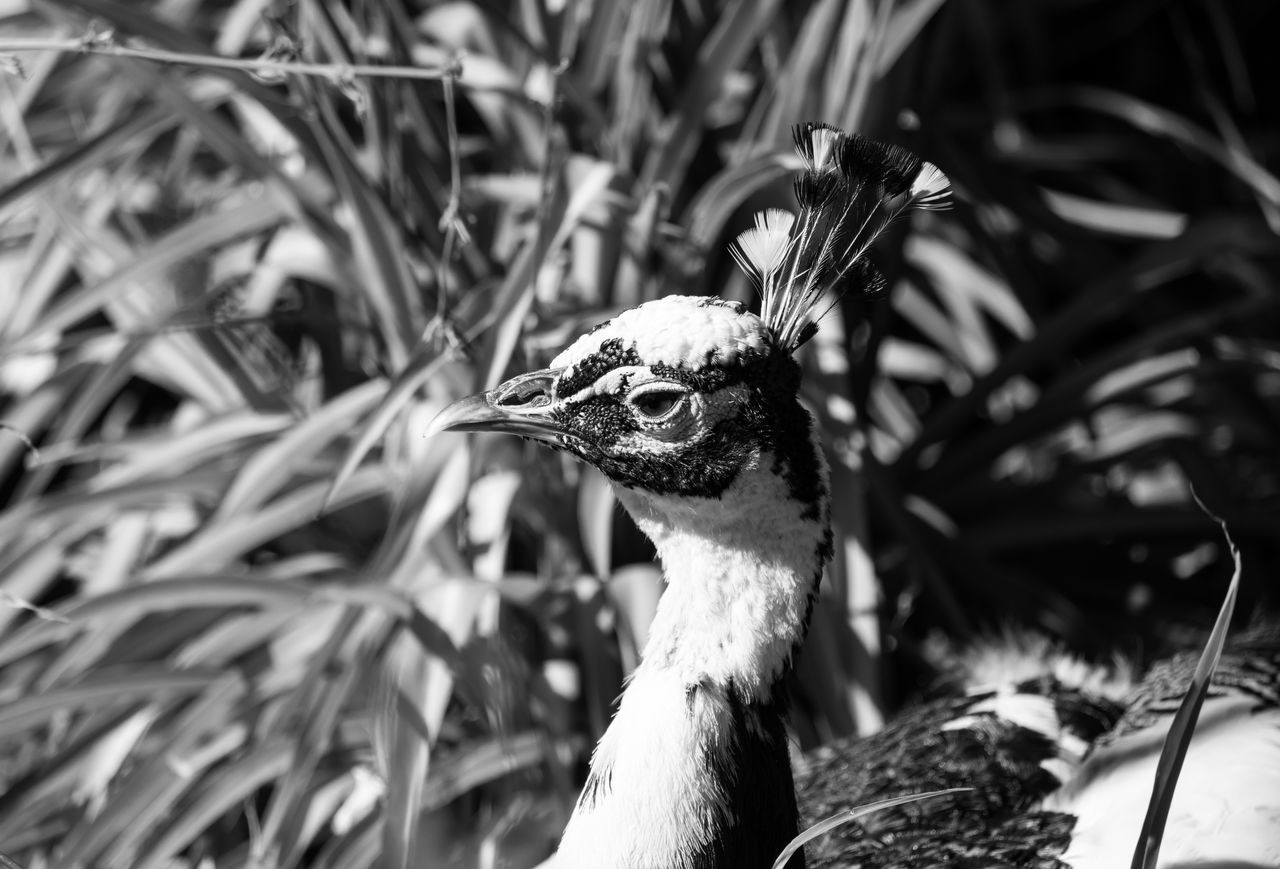 Picock Animal Themes Animals Bird Bird Photography Birds Of EyeEm  Birds_collection Birdwatching Black & White Black And White Close-up Blackandwhite Blackandwhite Photography Bnw Eye4photography  EyeEm EyeEm Best Shots EyeEm Bnw EyeEmBestPics Minimal Minimalism Minimalobsession EyeEm Gallery Taking Photos Portugal